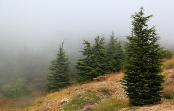 Libanonzeder an einem nebelhaften Tag stockfotografie
