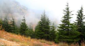 Libanonzedern an einem nebelhaften Tag stockbilder