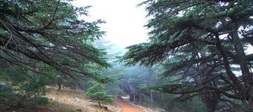 Libanonzedern an einem nebelhaften Tag stockfotos