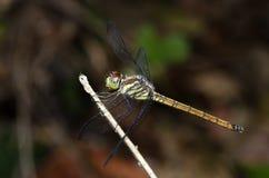 Libel, asiatica Libellen van Thailand Lathriacista Royalty-vrije Stock Foto's