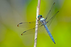 Libel Blauwe Dasher Royalty-vrije Stock Foto