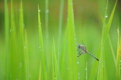 Libel in de padie Stock Foto