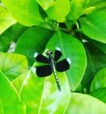 Libel in de tuin Royalty-vrije Stock Afbeeldingen