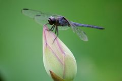 Libel die op lotusbloem rusten Royalty-vrije Stock Afbeeldingen