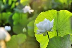 Libel en lotusbloemblad Royalty-vrije Stock Foto's