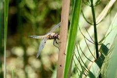 Libel en zegge de aard van Odonata van de Oekraïne Stock Afbeelding