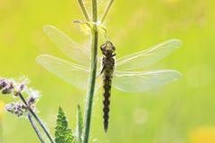 Libel het hangen op gras, wordt wijd uitgespreid zijn vleugels royalty-vrije stock foto