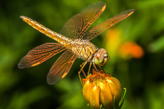 Libel, insect op de kosmosbloem stock foto