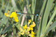 Libel/Ischnura elegans royalty-vrije stock foto