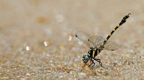 Libel, Libellen van capricornis van Thailand Paragomphus Stock Fotografie