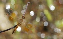 Libel, Libellen van contaminata van Thailand Brachythemis Royalty-vrije Stock Fotografie