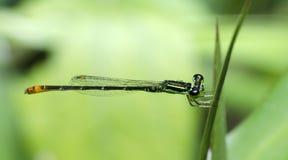 Libel, Libellen van de minima van Thailand Agriocnemis Royalty-vrije Stock Fotografie