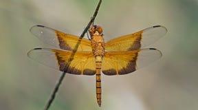 Libel, Libellen van gigantea van Thailand Camacinia Stock Foto's