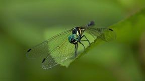 Libel, Libellen van platyptera van Thailand Tetrathemis Royalty-vrije Stock Afbeelding