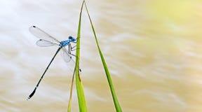 Libel, Libellen van praemorsus van Thailand Lestes Stock Fotografie