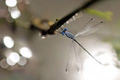 Libel, Libellen van praemorsus van Thailand Lestes Royalty-vrije Stock Afbeeldingen