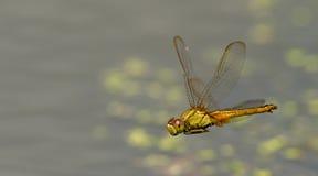 Libel, Libellen van servilia van Thailand Crocothemis Stock Fotografie