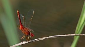 Libel, Libellen van servilia van Thailand Crocothemis Royalty-vrije Stock Fotografie