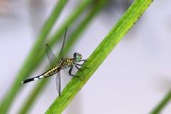 Libel, Libellen van Thailand Acisoma panorpoides Royalty-vrije Stock Afbeeldingen