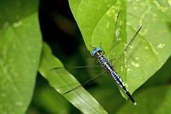 Libel, Libellen van Thailand Acisoma panorpoides Stock Foto