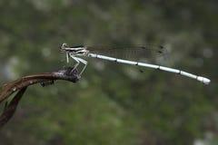 Libel, Libellen van Thailand Copera marginipes Royalty-vrije Stock Afbeeldingen