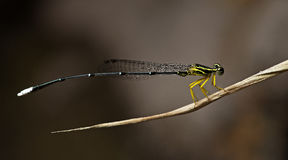 Libel, Libellen van Thailand Copera marginipes Stock Foto's