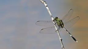 Libel, Libellen van Thailand Orthetrum Sabina Stock Afbeeldingen