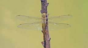 Libel, Libellen van Thailand Pantala flavescens Stock Foto's