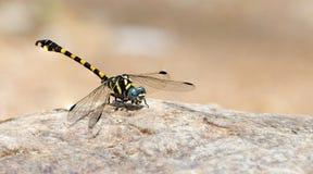 Libel, Libellen van ThailandParagomphus-capricornis Royalty-vrije Stock Afbeeldingen