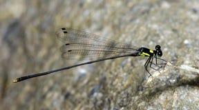 Libel, Libellen van yamasakii van Thailand Coeliccia Stock Foto's