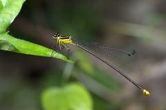 Libel, Libellen van yamasakii van Thailand Coeliccia Royalty-vrije Stock Afbeelding