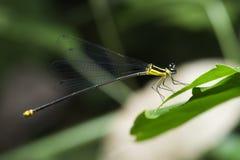 Libel, Libellen van yamasakii van Thailand Coeliccia Royalty-vrije Stock Fotografie