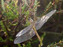 Libel met dauw behandelde vleugels stock fotografie
