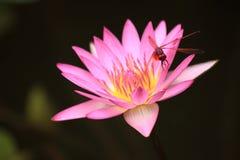 Libel op de lotusbloem Royalty-vrije Stock Foto