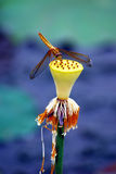 Libel op een lotusbloem Stock Foto