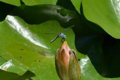 Libel op lotusbloem Royalty-vrije Stock Fotografie