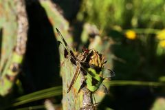 Libel, twaalf-Bevlekte schuimspaan, Libellula-pulchella op Vijgcactus in Texas royalty-vrije stock afbeeldingen