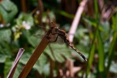 Libel, wereld van insecten, vliegende jager stock foto's
