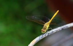 Libel in zijn natuurlijke habitat Stock Foto
