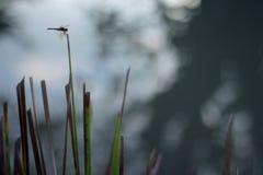 Libelinsect in aard De libel van het aardinsect op rozemarijninstallatie Libel in aard Libel nave Groene Kleur stock foto's