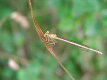 Libelle 1 Stockbild