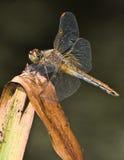 Libelle 2 Lizenzfreies Stockfoto