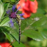 Libelle. lizenzfreie stockfotografie