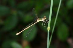 Libelle stockfoto