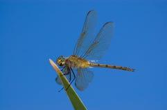 Libelle. stockfoto