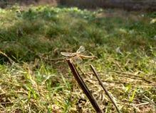 Libelle Stockfotografie