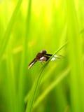 Libelle 9 Stockfoto