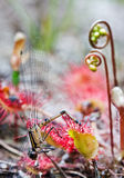 Libelle abgefangen von Sundew. Lizenzfreies Stockbild