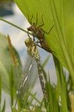Libelle aeshna cyanea brütete aus Stockfotos