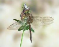 Libelle Aeshna-isoceles (Mann) Lizenzfreies Stockfoto